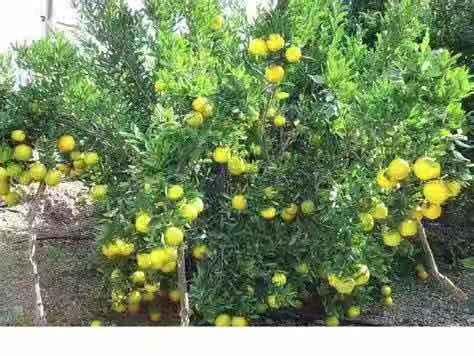 柑橘衰退病2.jpg