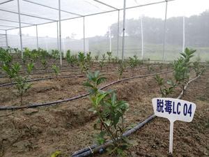 无毒绿橙苗